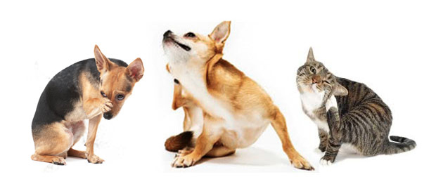 Pet skin infections